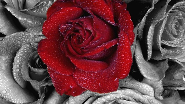 roses-red-rose-hd-jootix-299429